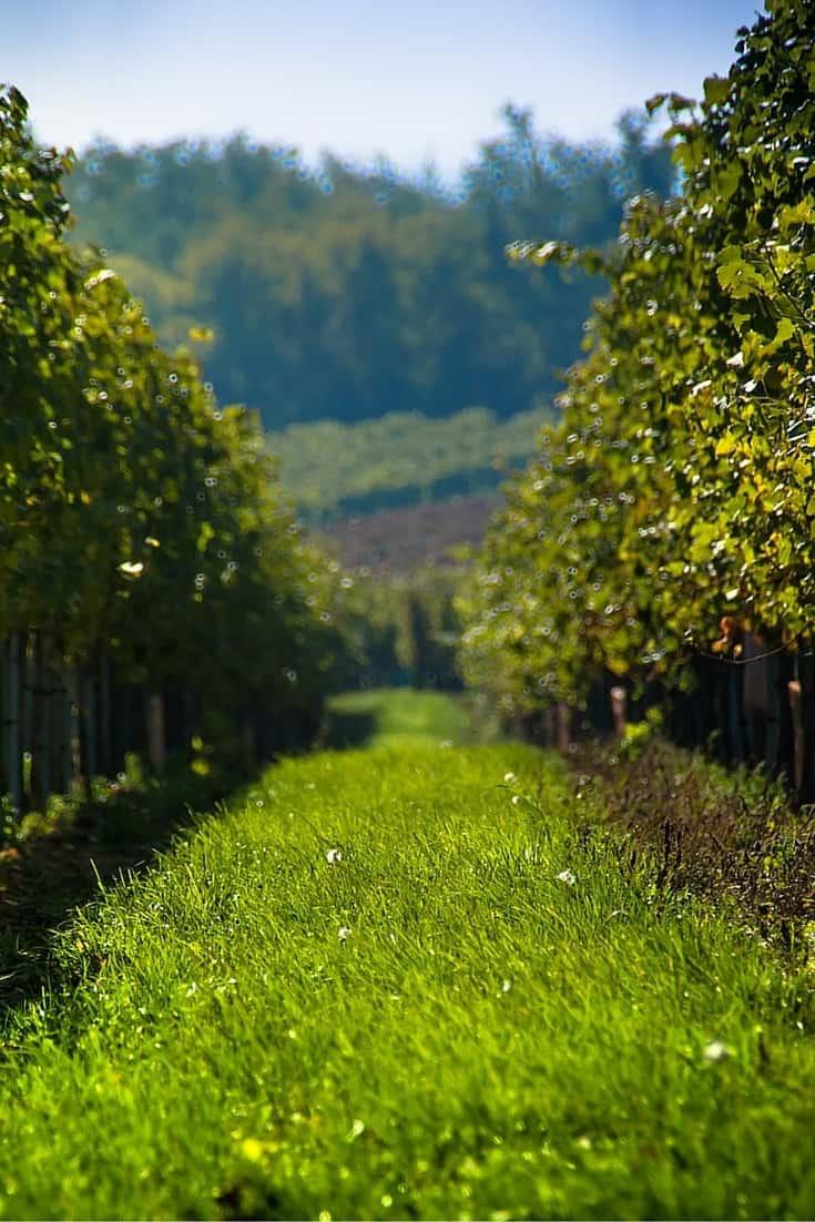 Vines in Melbourne's Yarra Valley
