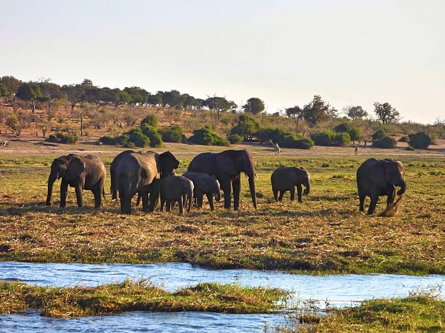 Chobe Day Trip - Elephants on the banks of the Chobe River