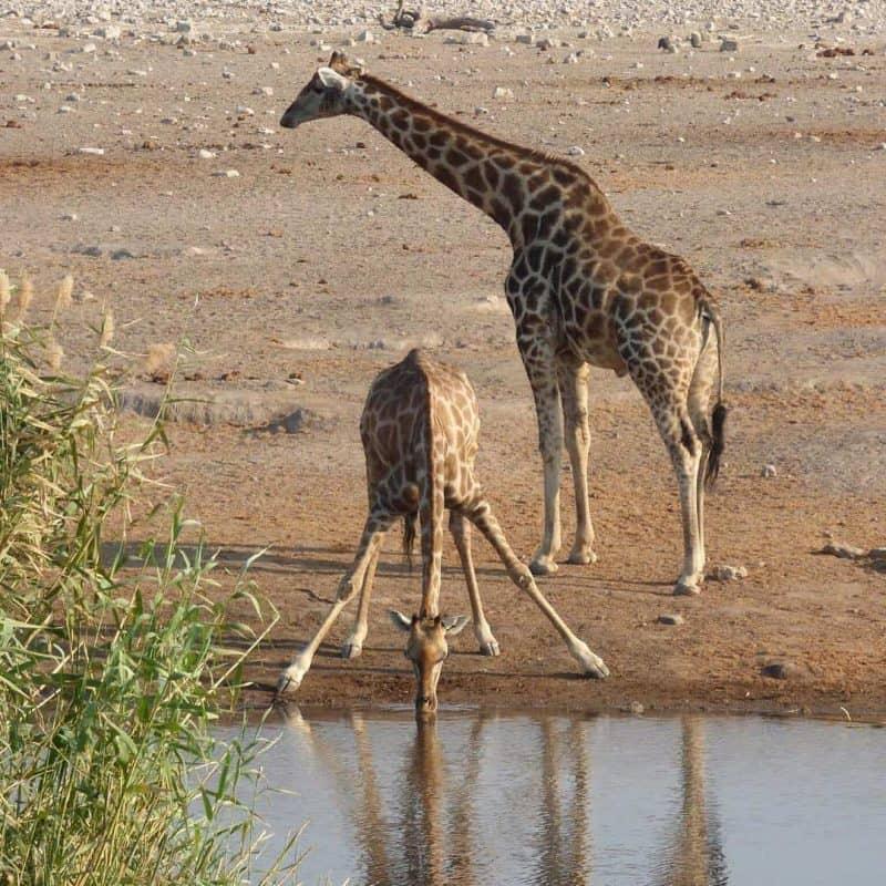 Giraffes drinking in Etosha