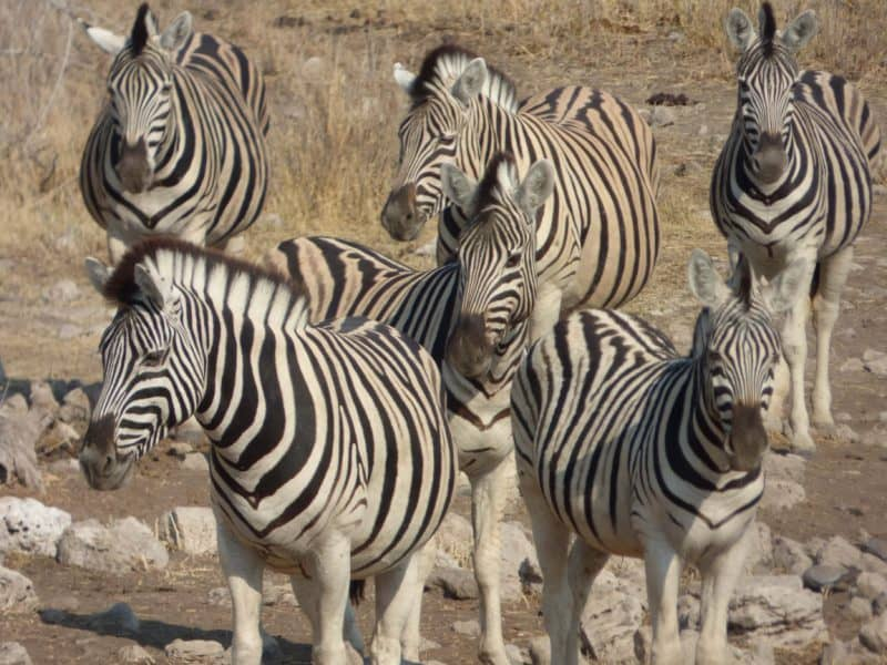 Zebras in National Park