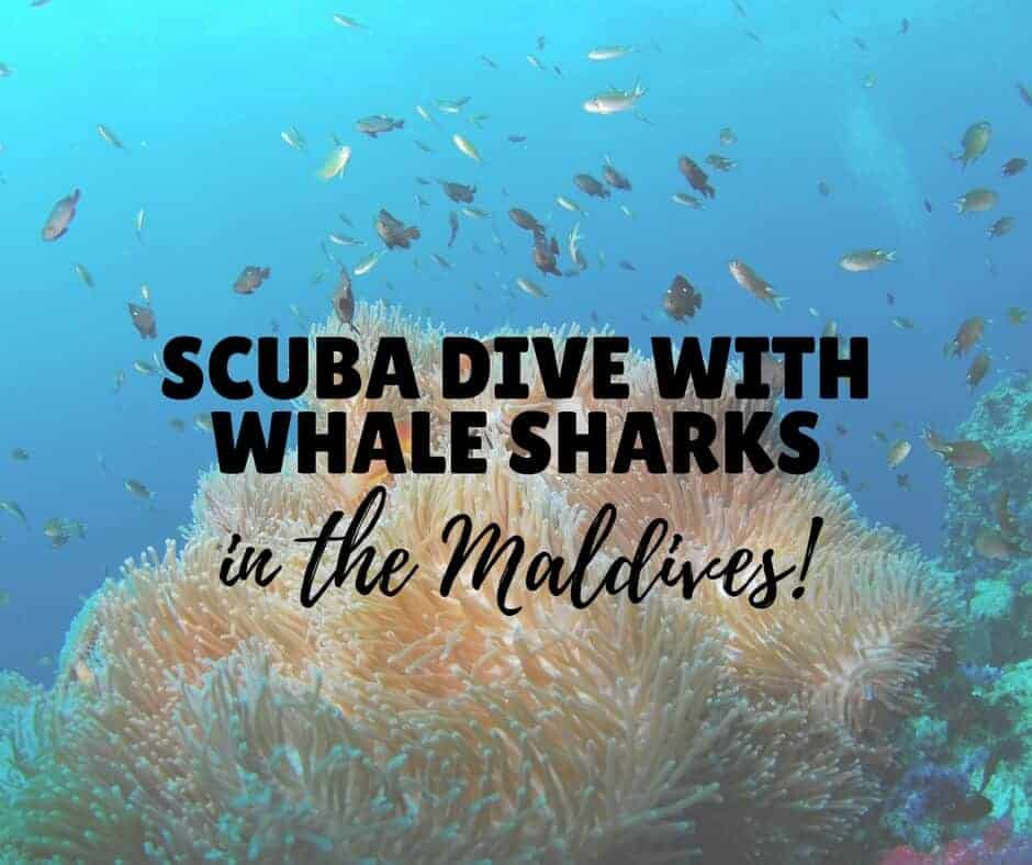 Scuba Diving with Whale Sharks in the Maldives
