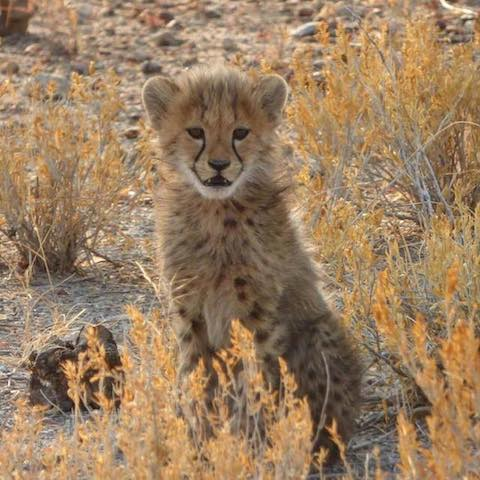 BABY CHEETAH - 3 month old Cheetah Cub in Namibia - August 2016