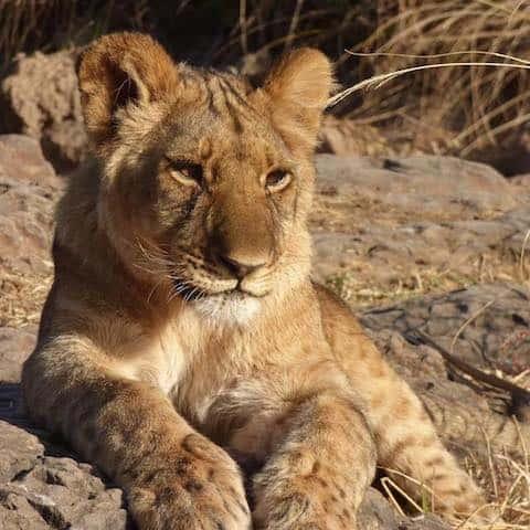 LION CUB - Hwange National Park, Zimbabwe - July 2016