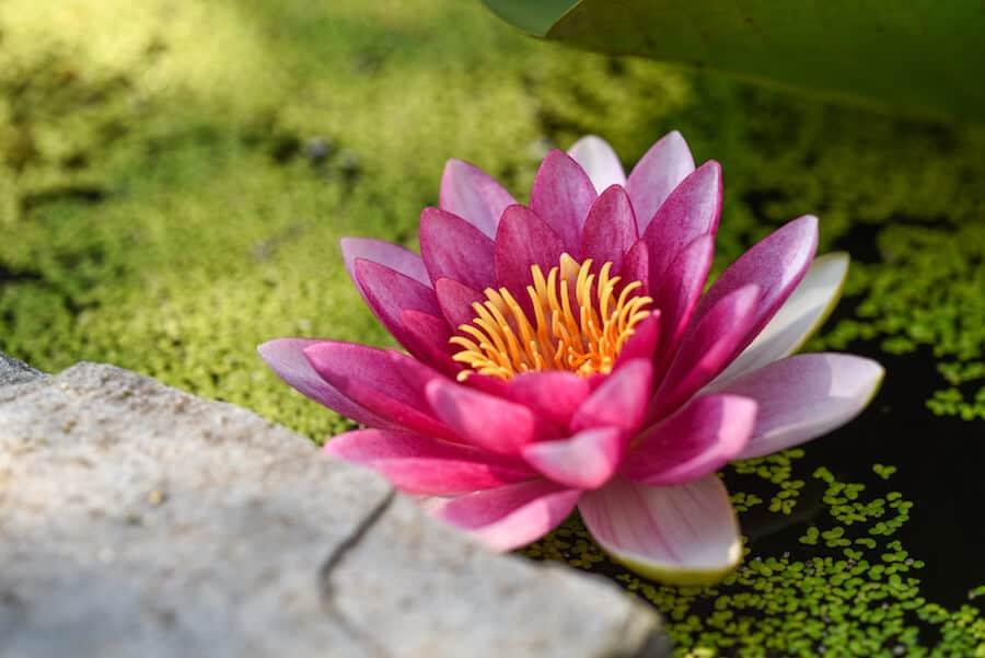 Osaka Attrcations - Water lily like in Sakuya Konohana Kan