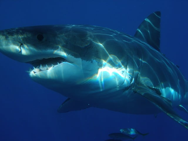 Dive with Great White Sharks