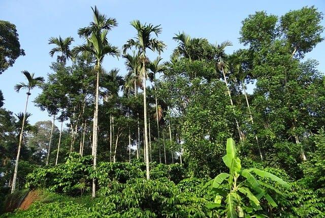 Coffee Plantation Toraja