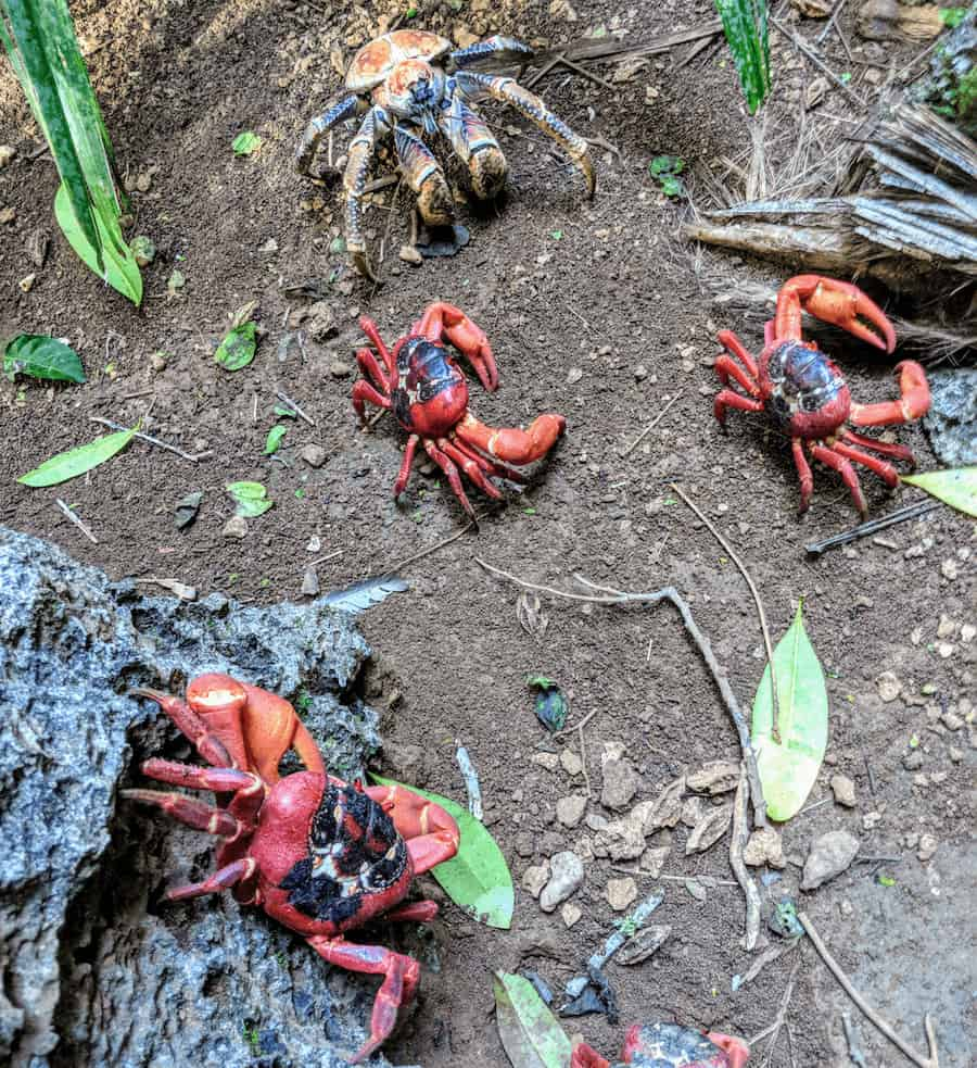 Crabs on the Boulder Track Christmas Island (c) MakeTimeToSeeTheWorld