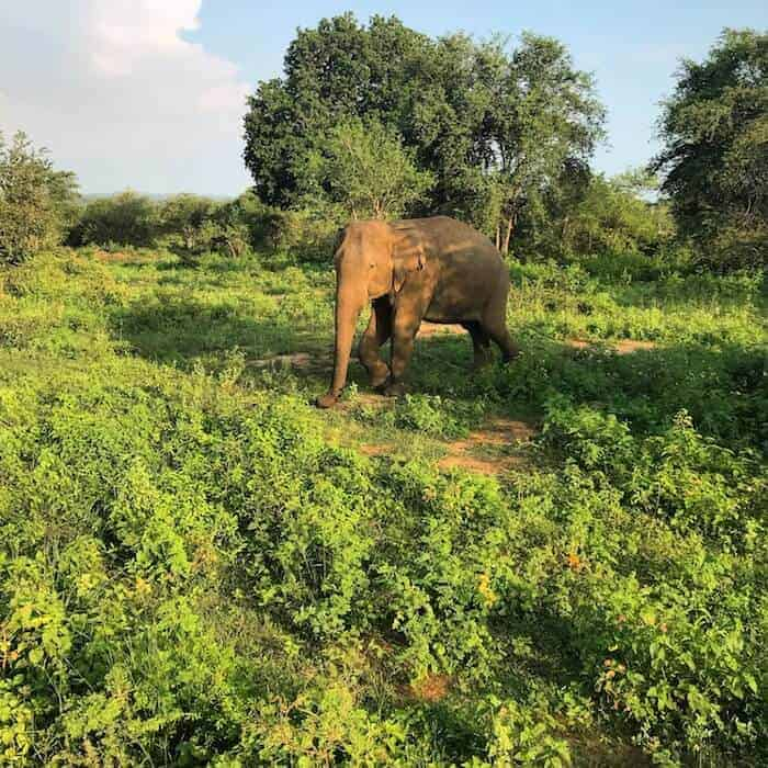 See elephants in the wild at Udawalawe National Park on your Sri Lanka safari