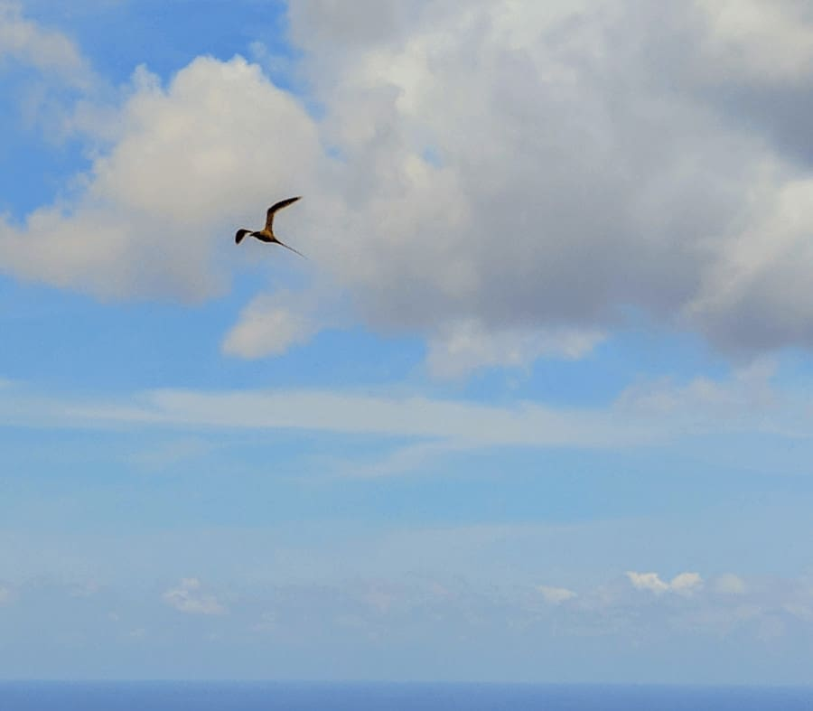 Golden Bosun in Flight Christmas Island