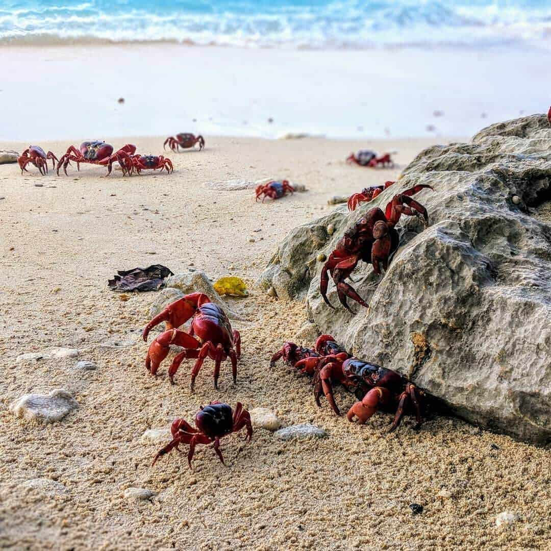 Red Crab Migration on Christmas Island