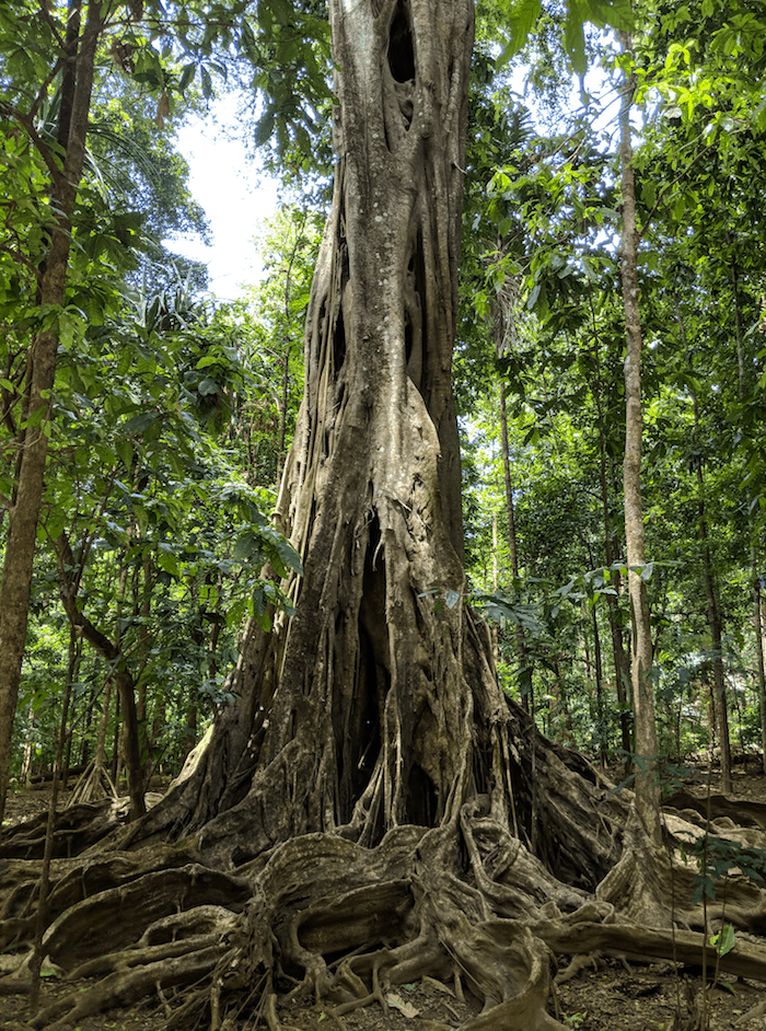 Strangler Fig on Christmas Island Australia