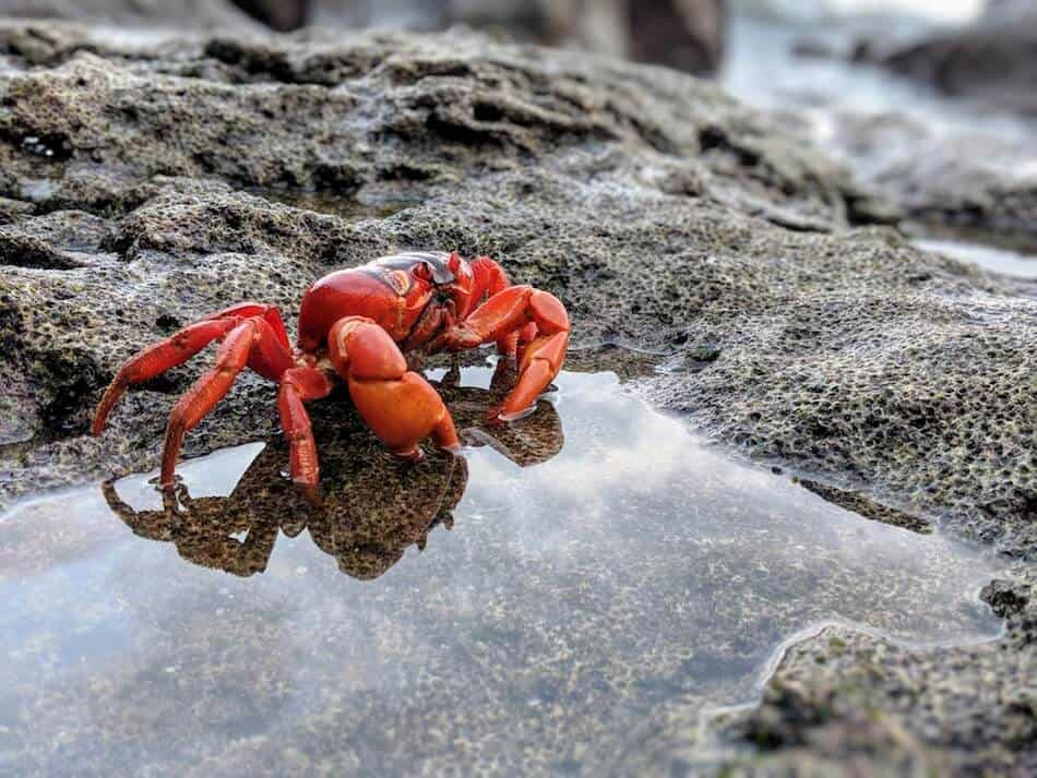 Christmas Island Red Crab taking a Dip