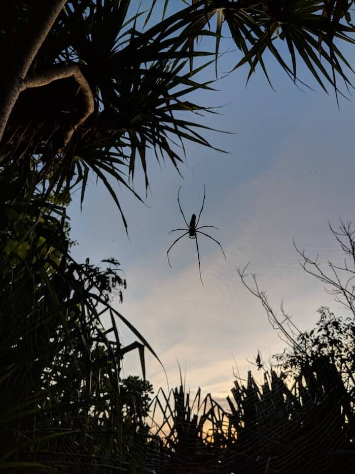 Giant Spider on Christmas island