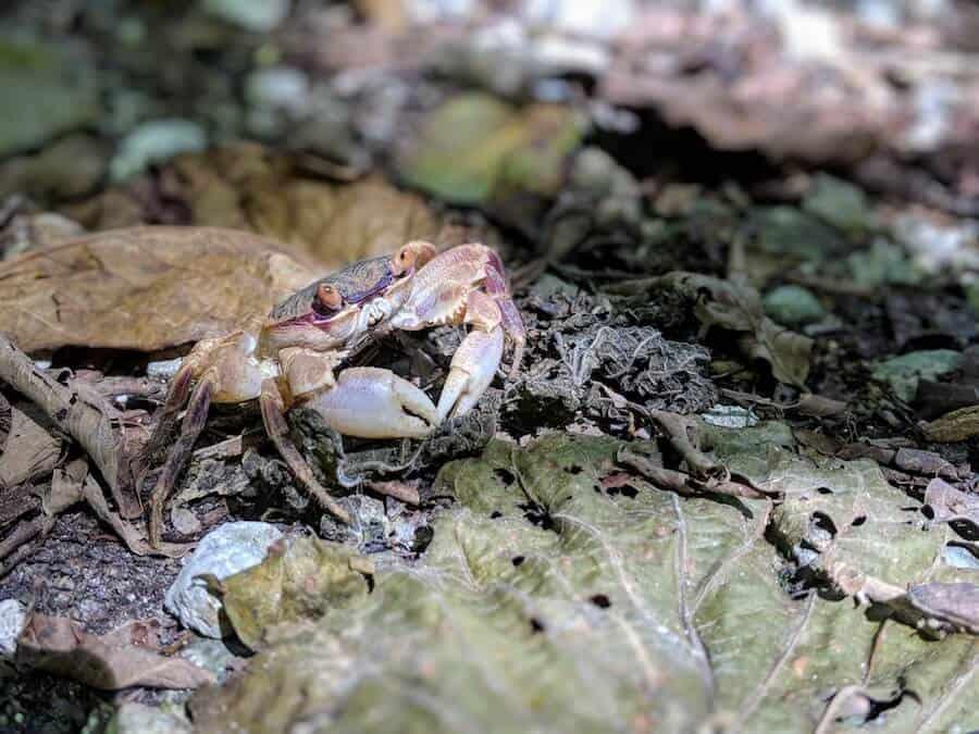 Purple Crab on Christmas Island