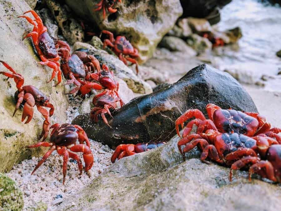 Christmas Island Red Crabs on the Beach
