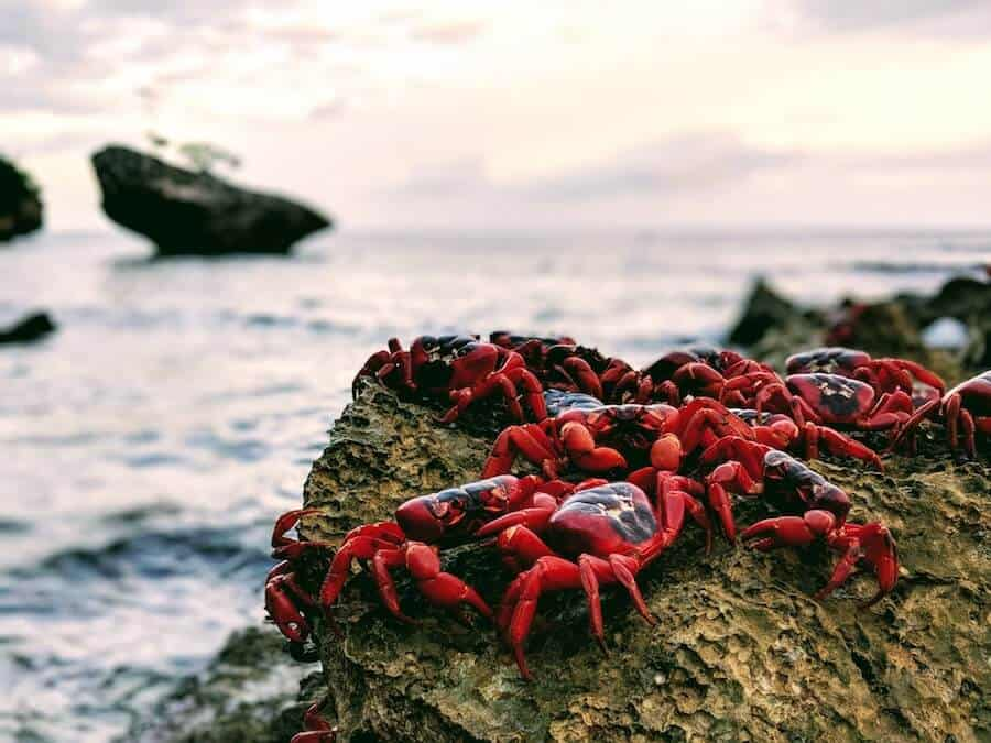 Red Crabs on a Rock during Spawning