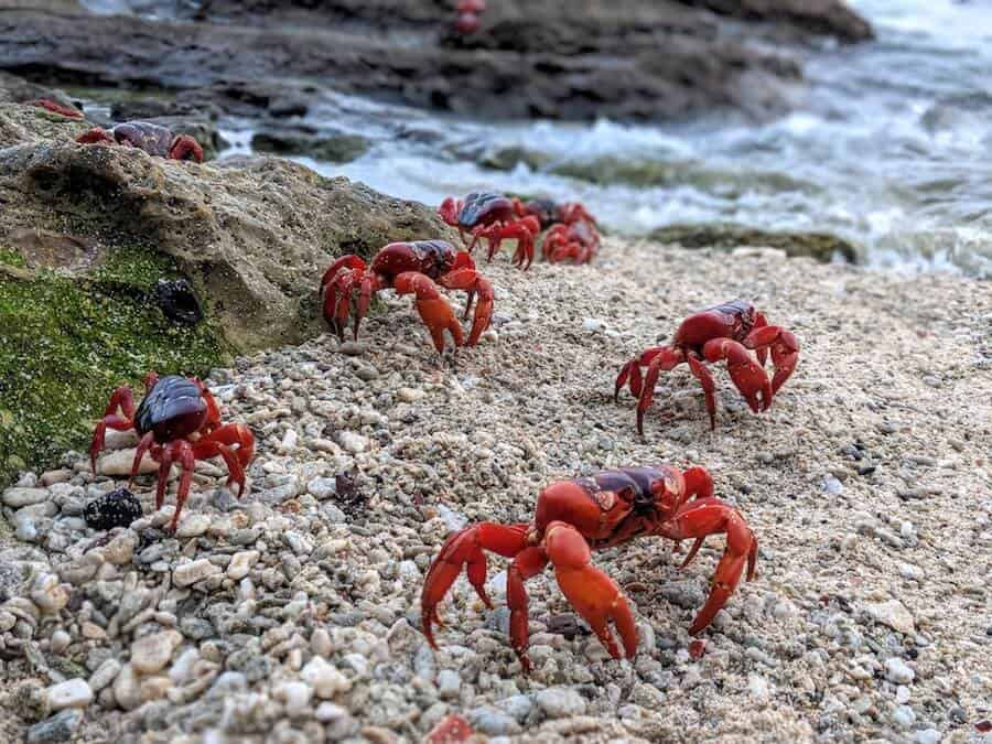 Red Crabs on the Beach at the oceans edge