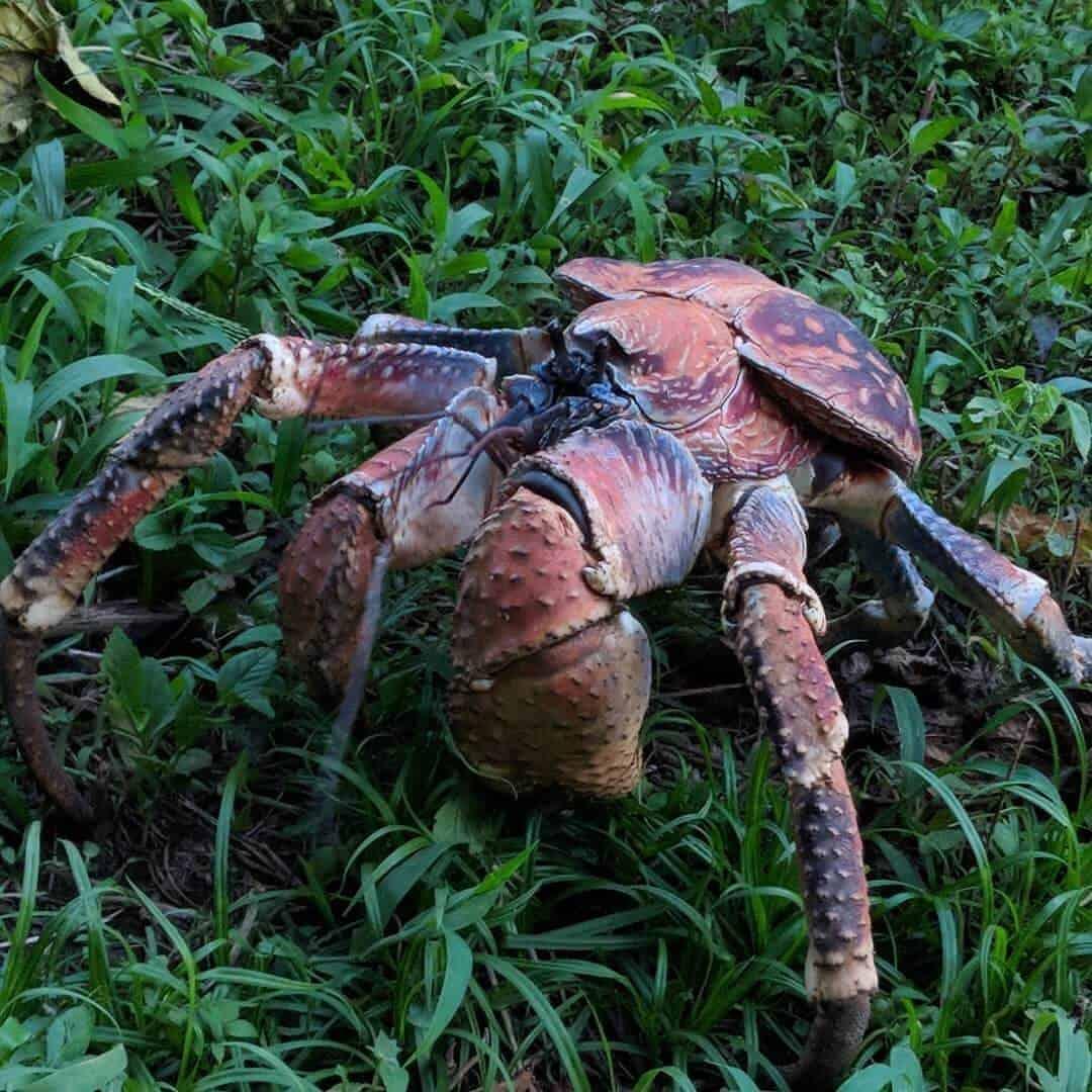 Robber Crab on Christmas Island