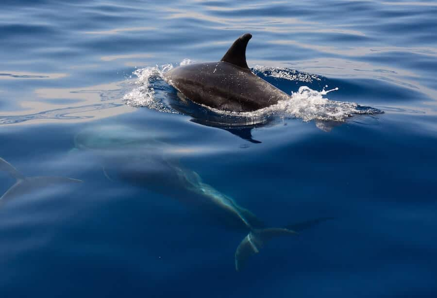 Dolphin Spotting & Whale Watching in Tenerife