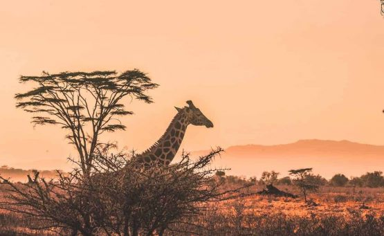 Ethical Wildlife Holidays to add to your travel bucket list Post Header - Giraffe Overlooking the Savannah