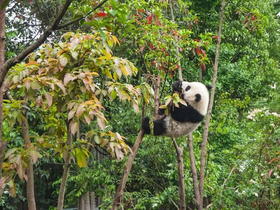 Giant Panda in China