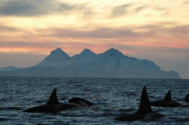 Orca in Norway