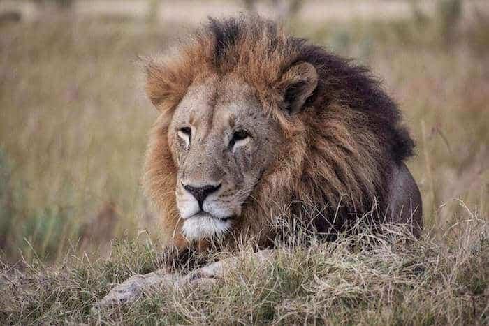 A huge lion at Nxabega