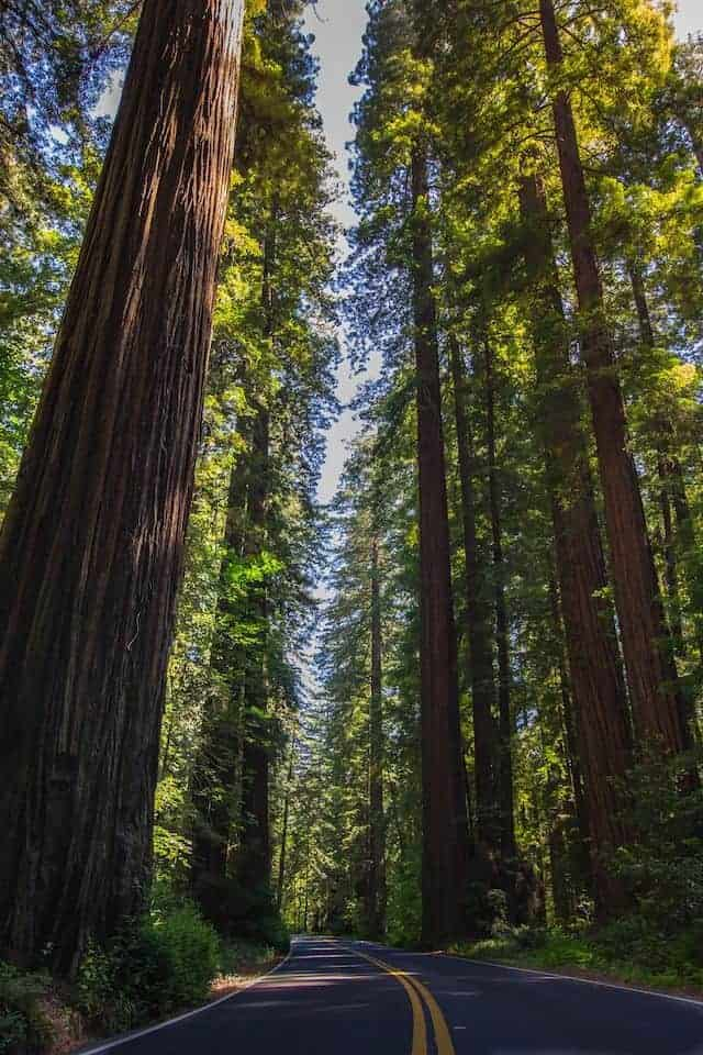 Califonian Redwood trees