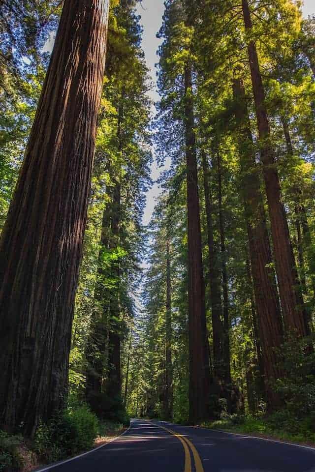 Califonian Redwood trees