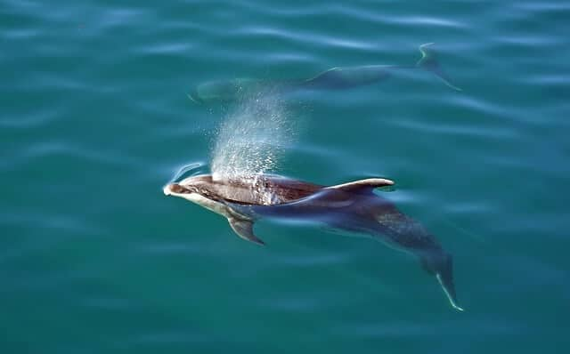 Dolphins in New Zealands Bay of Islands