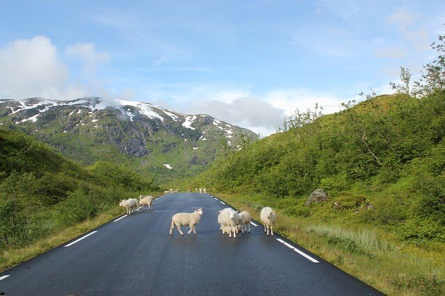 Sheep on the Road in New Zealand