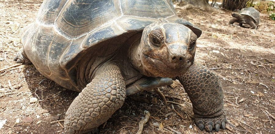 Rescued Aldabra Tortoise in Antigua