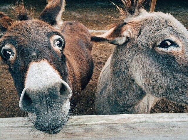 Donkey's in Antigua