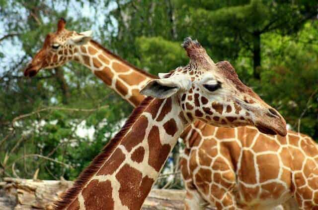 Two giraffes in an enclosure at a zoo facing opposite ways and crossing necks