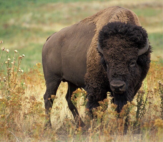 Bison in Big Bone Lick State Park