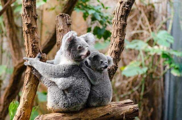 Baby Koala sat behind it's mother on a tree branch in a leafy enclosure looking back over their shoulders