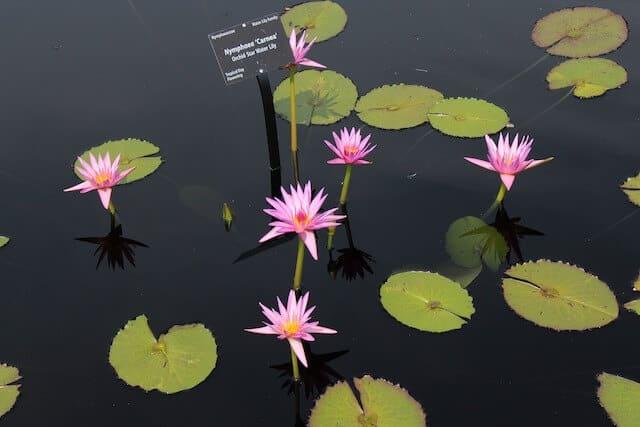 Lake with Lilies in Denver Botanic Garden