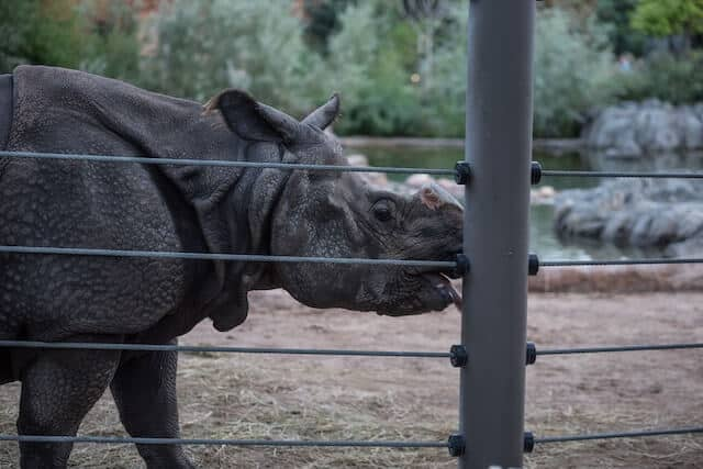 Rhino behind electric fence at a zoo