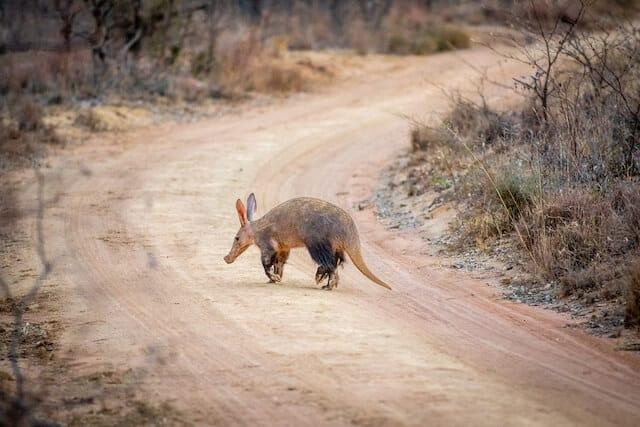 Aardvark in Africa