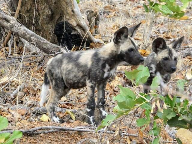 Africa Painted Dogs - Wild Dogs