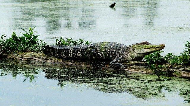 Aligator in the Louisiana Bayou
