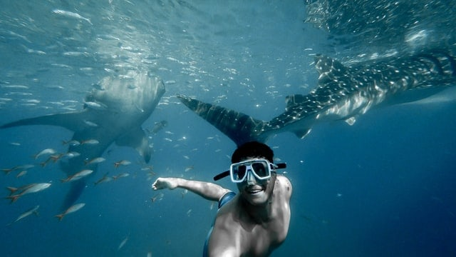 Whale sharks in the Maldives