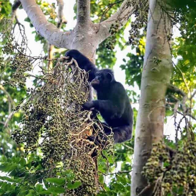 Chimpanzee in Kalinzu