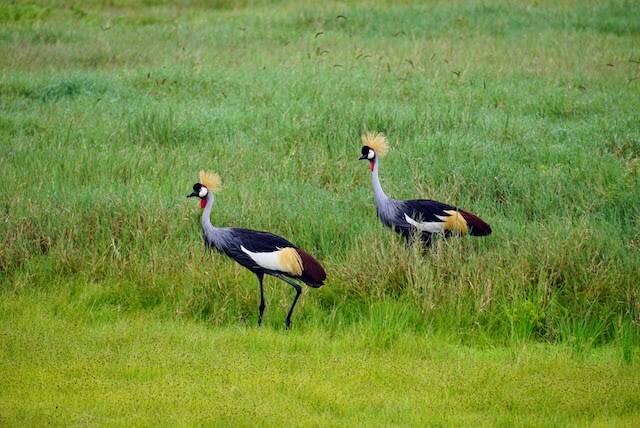 Pair of Grey Crown Crane