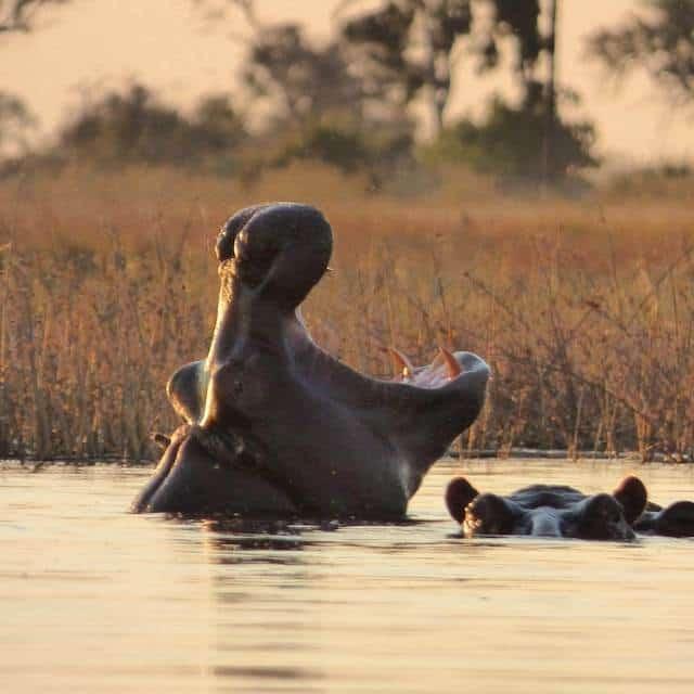 Hippos in the Okavango Delta