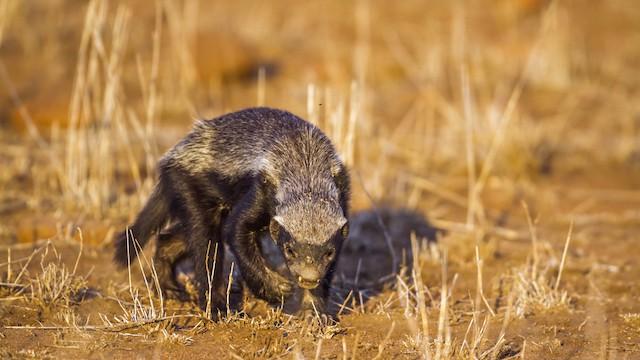 Honey Badger in the scrubland of Kruger National Park