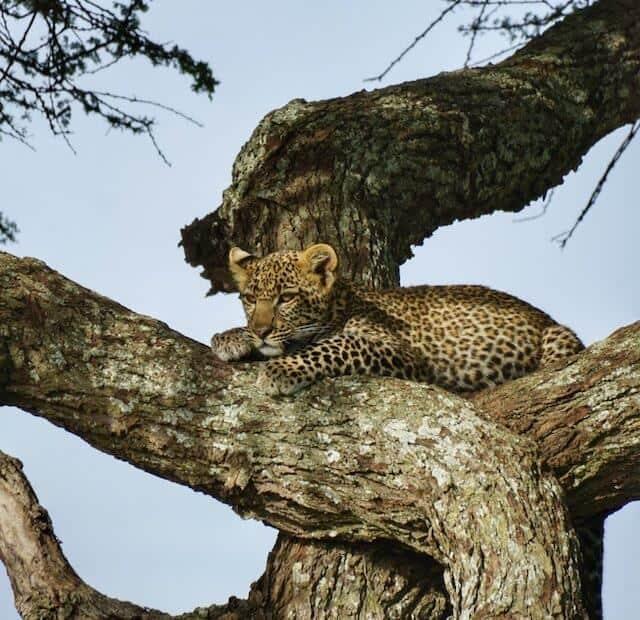 Leopard in a tree (c) MakeTimeToSeeTheWorld