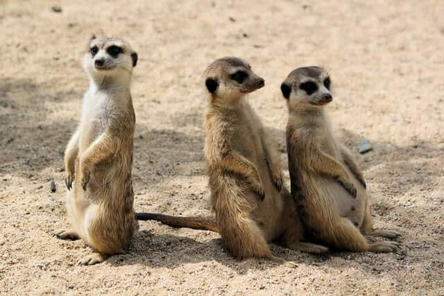 Meerkats in Africa