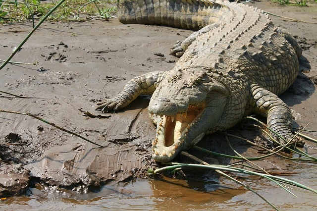 Nile Crocodile on the bank next to water with it's jaws open