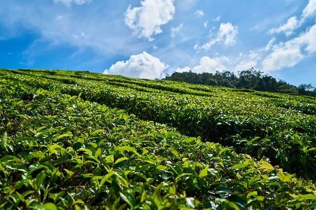 Tea Tour from Nairobi